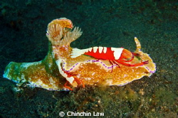 purple-edged ceratosoma with a pair of emperor shrimp@lem... by Chinchin Law